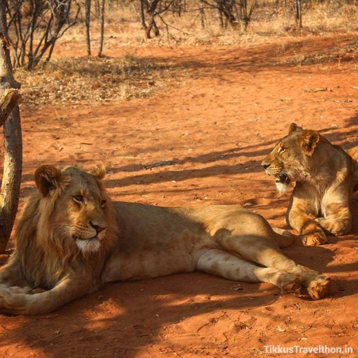 Real Lions Close up.This ishow close that one can get herein Zambia!