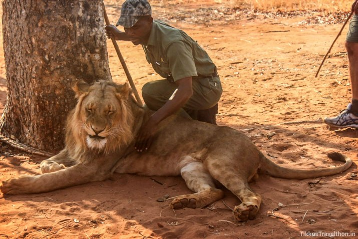 The correct/right way to approach a Lion!