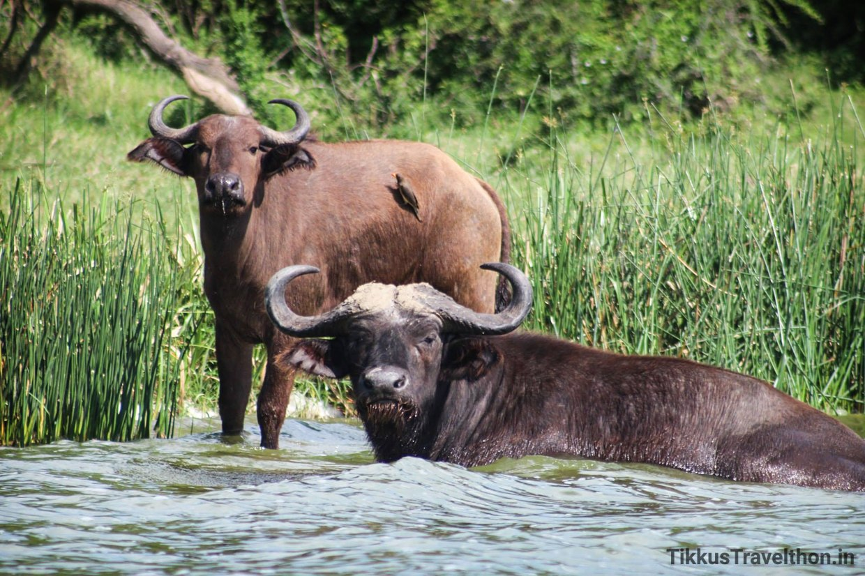 i_buffalo