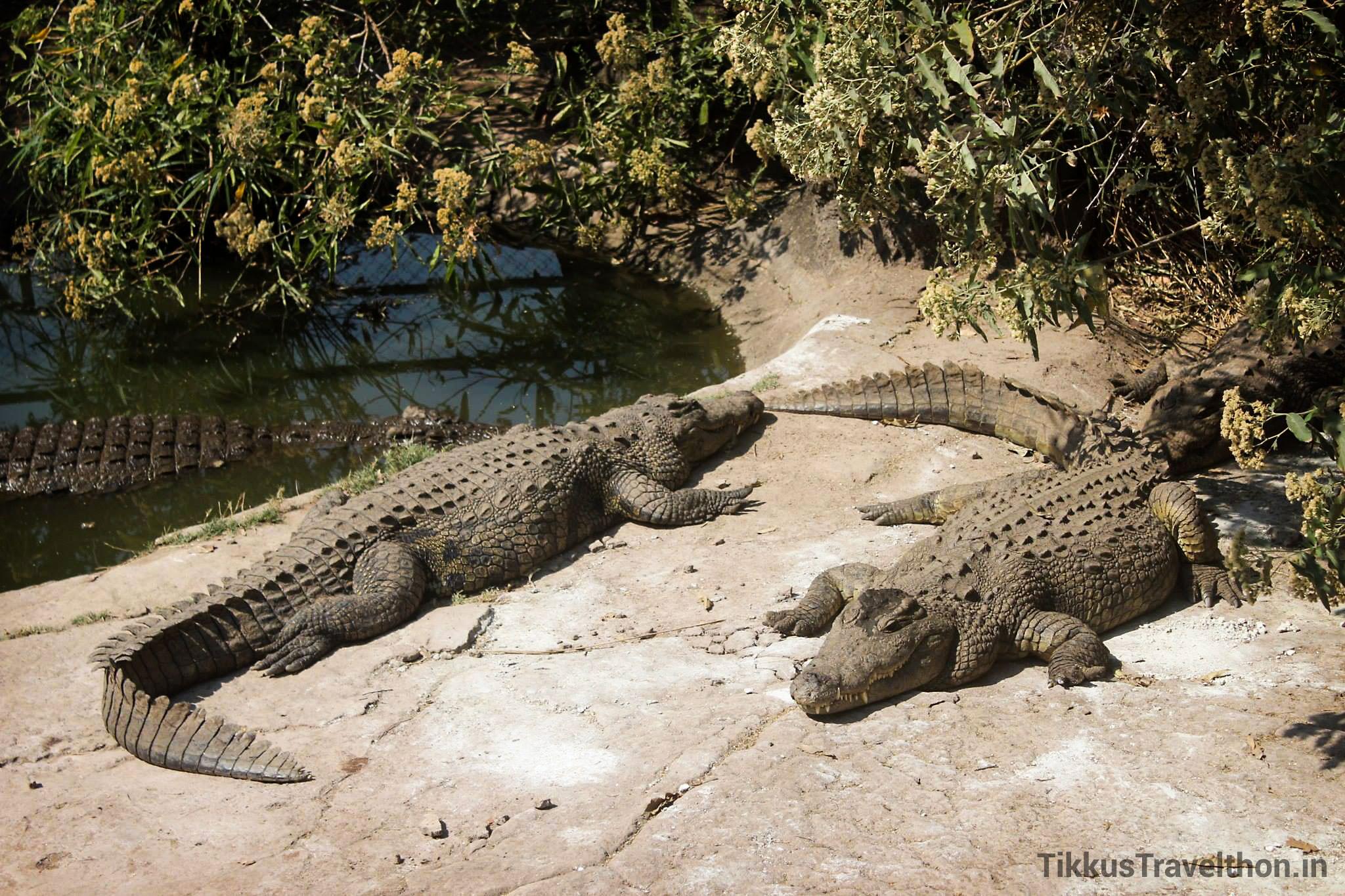 i_croc