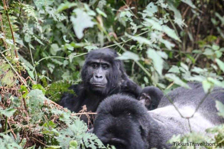 i_gorillafamily