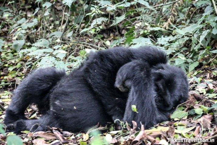 i_gorillasleeping