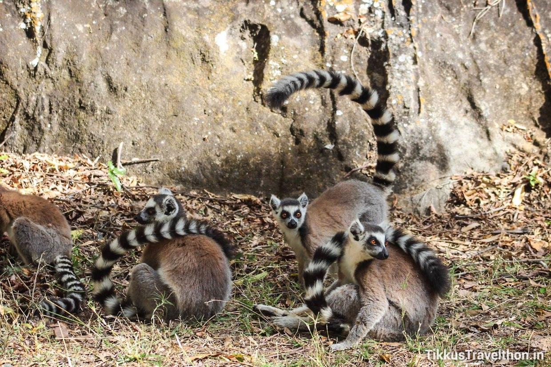 i_lemur